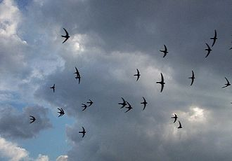 Apus (genus) - Common swifts (Apus apus)