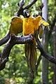 Ara ararauna -wing clipped -Guangzhou Zoo-8a.jpg