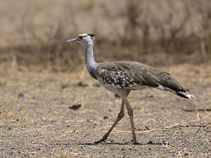 Wildlife of Mauritania - Arabian Bustard