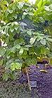 Arabica coffee plant in Palm House at Kew Gardens.jpg