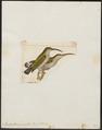 Arachnothera pusilla - 1820-1860 - Print - Iconographia Zoologica - Special Collections University of Amsterdam - UBA01 IZ19000153.tif