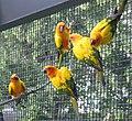 Aratinga solstitialis -Tracy Aviary, Salt Lake City, Utah, USA-8a.jpg