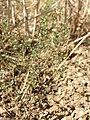 Arenaria serpyllifolia (s. str.) sl22.jpg