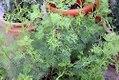 Artemisia abrotanum 2zz.jpg