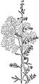 Artemisia absinthium, Nordisk familjebok.png