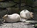 Artis Capibara's (36376175642).jpg