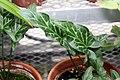 Arum italicum Marmoratum 2zz.jpg