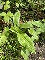 Arum maculatum 126916831.jpg