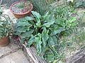 Arum nigrum - Flickr - peganum.jpg