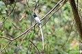 Asian Paradise Flycatcher at Nagarjun Forest (2).jpg