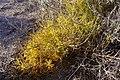 Asparagus macrorrhizus0500 01.jpg