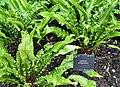 Aspleniaceae Asplenium scolopendrium 1.jpg