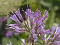 Asteraceae - Adenostyles alliariae.jpg