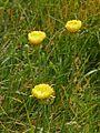 Asteraceae - Urospermum dalechampii-3.JPG