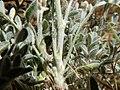 Astragalus andersonii (35216288731).jpg