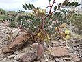 Astragalus aquilonius (4729816313).jpg