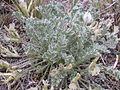 Astragalus purshii (4001365216).jpg