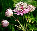 Astrantia major ENBLA01.jpg