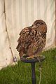 Athena Eurasian Eagle Owl, Cheshire Game and Country Fair 2014.jpg