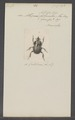 Athyreus - Print - Iconographia Zoologica - Special Collections University of Amsterdam - UBAINV0274 019 13 0003.tif