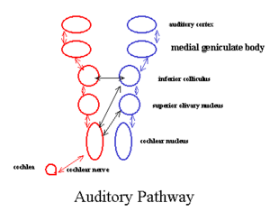 Medial geniculate nucleus - auditory pathway (Medial geniculate body labeled at upper right, second from top)