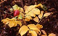 Autumn roses - geograph.org.uk - 699455.jpg