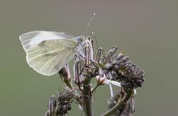 Büyük beyazmelek - Pieris brassicae.jpg