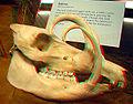 Babirusa skull.jpg