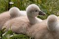 Baby swans (4624926177).jpg