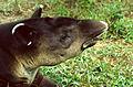 Baird's Tapir (Tapirus bairdii) (22081716180).jpg