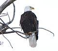 Bald eagle (5897219800).jpg