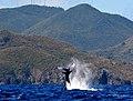 Baleine à bosse. Réserve Naturelle Nationale de Saint Martin. Sanctuaire Agoa.jpg