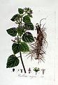 Ballota nigra — Flora Batava — Volume v3.jpg