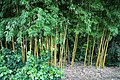 Bamboo grove in Nuthurst village, West Sussex, England 03.jpg