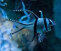 Banggai Cardinalfish 2 (5729986935).jpg