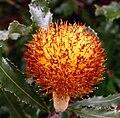 Banksia menziesii.jpg
