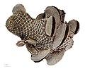 Banksia menziesii MHNT.BOT.2008.11.36.jpg