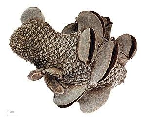 Banksia menziesii - Banksia menziesii – MHNT