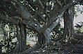 Banyan tree, Nassau. Ficus benghalensis (38154641164).jpg