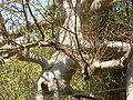 Baobab tree (412785868).jpg