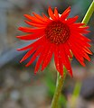 Barberton Daisy (Gerbera jamesonii) (32372962303).jpg