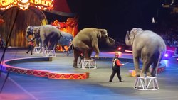Fil:Barnum and Bailey Circus Shaolin and Elephant Act.webm