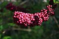 Beauty Berry or Callicarpa americana.jpg