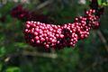 Beauty Berry or Callicarpa americana.jpg