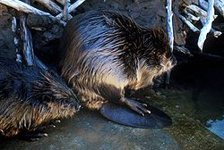 meaning of beaver