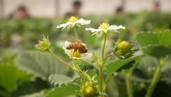 ファイル:Bee-pollinating-strawberryflower-chiba-2019-3-10.webm