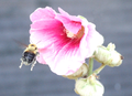 Bee with Flower and Pollen.png