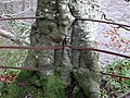 Beech tree growth around metal railings, Wallace's Seat, South Ayrshire, Scotland.jpg