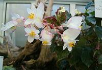 Begonia wrightiana BotGardBln1105Inflorescence