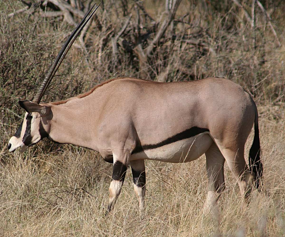 East African Oryx Wikipedia